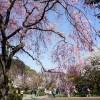 新宿御苑で花見
